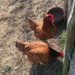 Nos petites poules